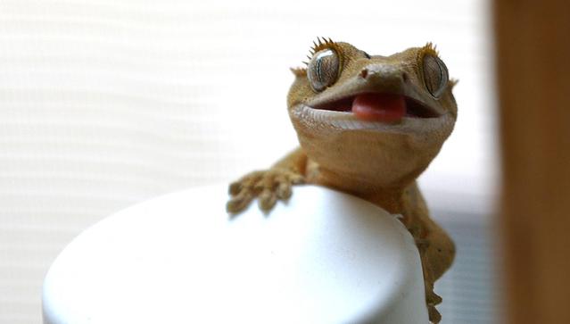 Geckos.